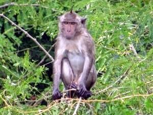Méfiez-vous des singes !